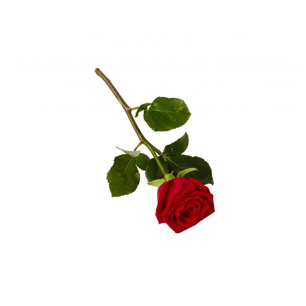 Ros-Handblomma