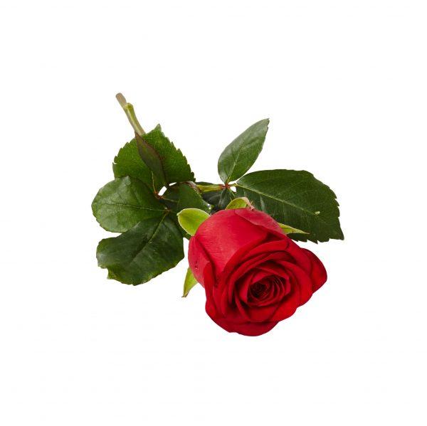 Handblomma bestående av en klassisk liggande röd ros placerad i mitten av en vit bakgrund. Blomman används som en handbukett och är även en begravningsblomma.